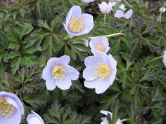 """Anemone nemorosa (""""Original Blue"""")"""
