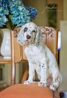 English Setter puppy. Pet portrait. Photography. www.pouka.com