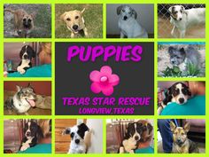 PLEASE SHARE!!!  We have some super cute puppies looking for their forever home!!! They are available for adoption through Texas Star Rescue in Longview, Texas #TSRadopt #terrier #labrador #bordercollie #chichi #malinois #catahoula #heeler #aussie #dog #rescue #adopt #texasstarrescue #woof #rescuedismyfavoritebreed #adoptdontshop #helpsavealife
