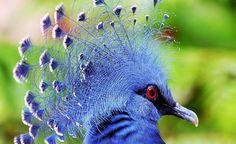Victoris crowned pigeon