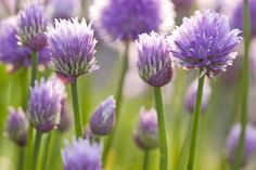 Chive blossoms are a springtime delicacy that go well with eggs, potatoes, vegetables and poultry. Here are five ways to use chive blossoms.