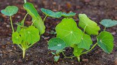Jak správně pěstovat lichořeřišnici větší (Trapeoleum majus). Recepty, jak využít jedlé květy lichořeřišnice. Odrůdy lichořeřišnice. Jak a proč léčí Magic Herbs, Private Garden, Kraut, Aloe, Herbalism, Plant Leaves, Pesto, Backyard, Vegetables