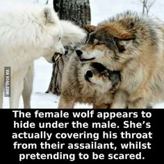 I believe they're both being submissive towards the white wolf, not sure how much protection is happening though