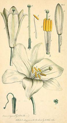 Botanical illustration by J White, circa 1799 from Biodiversity Heritage Library