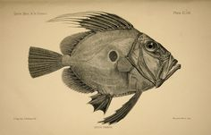 zeus faber. the fishes of great britain and ireland, 1880-84.