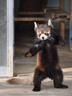 The post Kung Fu Panda ! appeared first on Katzen. Kung Fu Panda, Panda Panda, Cute Funny Animals, Cute Baby Animals, Animals And Pets, Cute Dogs, Baby Animals Pictures, Cute Animal Pictures, Photo Panda