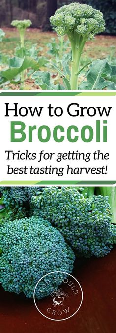 If you\'ve had trouble growing broccoli before, read these tips for getting a tasty crop. Grow your own delicious broccoli in your garden. via /whippoorwillgar/