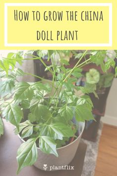 How to Grow the China Doll Plant, or Radermachera Sinica. The China Doll plant is an example of a stunning houseplant that you can actually grow from seed. Click to read more!
