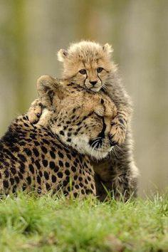 baby cheetah cub and mom