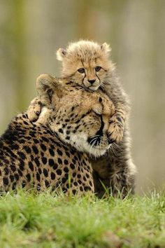 baby cheetah cub and mom