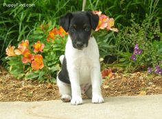 Smooth Fox Terrier Puppies For Sale, Dogs And Puppies, Animals Beautiful, Cute Animals, Smooth Fox Terriers, Adorable Dogs, Old Dogs, Smooth Hair, Mixed Breed