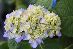 Love this stage......spring is on it's way and my Hydrangeas are going to be gorgeous!!!