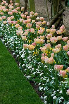 Spring tulips are beginning to emerge! Tulips Garden, Garden Bulbs, Garden Plants, Outdoor Plants, Outdoor Gardens, Beautiful Gardens, Beautiful Flowers, Jardim Natural, Spring Bulbs