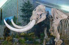 An hour and a half outside of Cape Girardeau, Mastodon State Historic Site is a cool place to visit. This museum has Paleo-Indian hunted mastodon from the ice age. It is known for being one of the most famous for extensive Pleistocene ice age deposits of fossils, and bones from the mastodons. For more information visit VisitMO.com