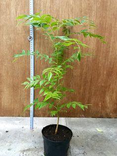 40-45cm Curry Leaf Plant