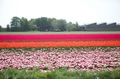 Tulip fields in Holland - just spectacular!