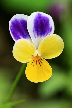 viola...these bring back memories big time! I used to pick these in the garden and put them in a little vase in my grandma's room for her to enjoy