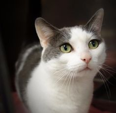 Meet Meggie 35782643, an adoptable Domestic Short Hair looking for a forever home. If you're looking for a new pet to adopt or want information on how to get involved with adoptable pets, Petfinder.com is a great resource.