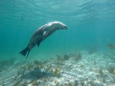 Picture of a sea lion swimming in Baird Bay, Eyre Peninsula, South Australia