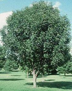 Bigwood Ash Trees