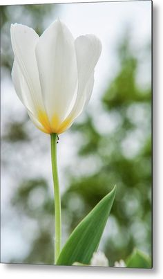 Tulipa Fosteriana Purissima Metal Print by Jenny Rainbow. All metal prints are professionally printed, packaged, and shipped within 3 - 4 business days and delivered ready-to-hang on your wall. Choose from multiple sizes and mounting options. Art Prints For Home, Fine Art Prints, Cool Photos, Beautiful Pictures, Aluminium Sheet, Got Print, Any Images, Art Techniques, High Gloss