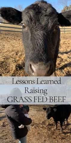 Find out what we have learned raising grass feed beef over the past 2 years. Find out what we Dairy Cow Breeds, Breeds Of Cows, Cow Feed, Cattle Farming, Livestock, Farm Hacks, Miniature Cows, Raising Farm Animals, Raising Cattle