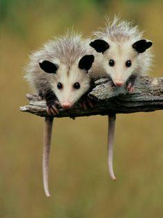 Possum babes. Thanks to Nature Conservancy - FB