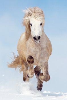 Dapple Grey Icelandic Horse Galloping Stallion Gelding Mare
