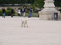 A French poodle, out for a walk in Paris.