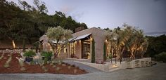front yard olive tree - Google Search