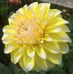 "Ova Jo - BB Size - 4"" to 6"" blooms - ARROWHEAD DAHLIAS"