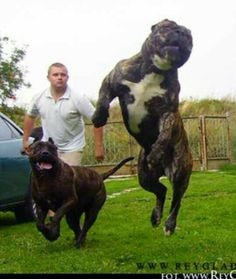 Presa Canario in action Mastiff Breeds, Mastiff Dogs, Pitbull Terrier, Pit Bull, Big Dogs, Dogs And Puppies, Rare Dogs, Corso Dog, Dog Yard