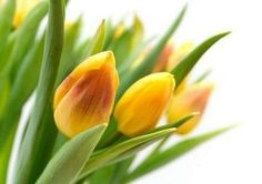 White Background Images, Yellow Tulips, More Pictures, My Flower, Flora, Perfume, Stock Photos, Spring, Plants