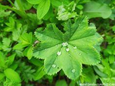 VÂRFUL TOACA SAU PE CEAHLĂU CU CAPUL ÎN NORI Plant Leaves, Plants, Leaves