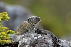 Japanese pika by minisam606 #animals #animal #pet #pets #animales #animallovers #photooftheday #amazing #picoftheday