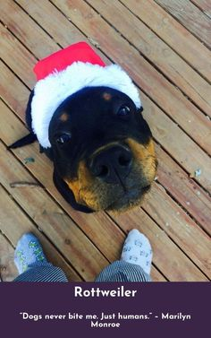 """""""Whoever said that diamonds are a girl's best friend… Never owned a dog."""" #rottweiler #rottweilerlove"""