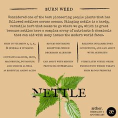 Nettle Benefits, herbal medicine, apothecary, plant medicine, Natural Medicine, Herbal Medicine, Nettle Benefits, Home Health Remedies, Herb Recipes, Going Natural, Medicinal Plants, Medical Advice, Apothecary