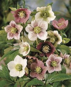 Seven Useful Shade Tolerant Groundcovers For Tough Spots Helleborus Julros Balcony Plants, Outdoor Plants, Garden Plants, Outdoor Gardens, Garden Catalogs, Purple Bouquets, Hardy Perennials, Blush Flowers, Hydrangea Petiolaris