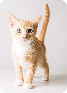 Hendersonville, NC - Domestic Shorthair. Meet Hansel, a kitten for adoption. http://www.adoptapet.com/pet/16357828-hendersonville-north-carolina-kitten