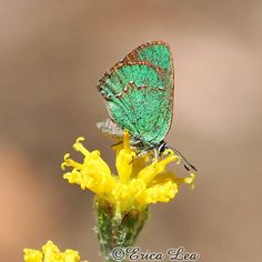 Green Butterfly Photo nature photography sunny
