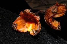 Gastrodia tembatensis