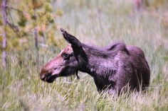 Moose spotted at Rocky Mountain National Park