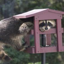 raccoon in bird feeder