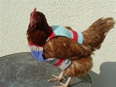 Some of these chickens received sweaters as part of a British project to rehabilitate abused battery hens. Others have owners who want warm, stylish pets. Regardless, you really can& go wrong with a sweater. More power to you, chickens. Chicken Outfit, Chicken Clothes, Yarn Bombing, Chicken Saddle, Chicken Accessories, Chicken Sweater, Chicken Treats, Chicken Feed, Urban Chickens