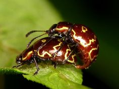 https://flic.kr/p/bNGKRB | Mating leaf Beetles | Taken with a point-and-shoot camera with a binocular lens for close-up.