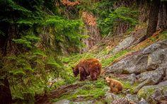 Télécharger fonds d'écran les ours, les falaises, la cub, de la faune, de la forêt