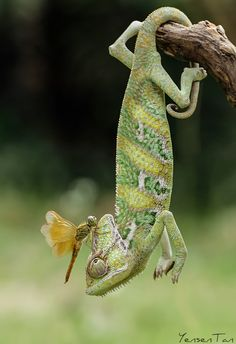Something Above My Head - Veiled Chameleon with Dragonfly