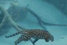 Leopardo nadando  http://frikinianos.es/leopardo-marino/  #leopardo #nadando #frikada #gif