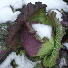"January King Cabbage.  What's not to like about a ""gorgeous edible winter landscape plant""?"