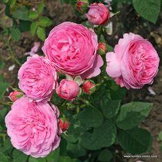 Louise Odier - L'un des meilleurs rosiers Bourbon aux fleurs pleines, en coupe, d'une forme parfaite, rose chaud, légèrement ombré de lilas. Végétation buissonnante vigoureuse. Floraison continue et parfum très intense. H X L adulte : 1,8 X 1,2 m